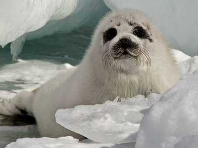 Those baby seals that are not killed, often looses their mother and therefore dies anyway