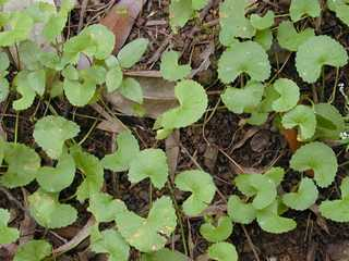 Pegaga traditional asian miracle herb, also used in Paul Penders products
