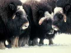 Musk ox - the natural source of musk