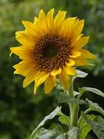 Natural essential oil can be made from sunflower